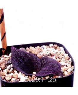 マッソニア プスツラータ purple form 実生 12010
