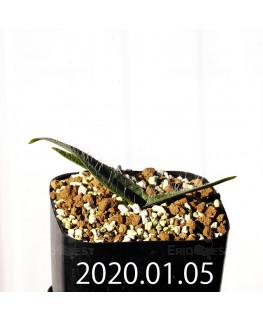 ラケナリア コンプトニー EQ443 子株 12055