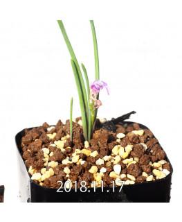 ラケナリア ポーキフォリア EQ660 実生 12102