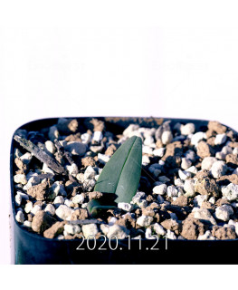 Androcymbium burchellii アンドロキンビウム ブルケリー EQ662  12134