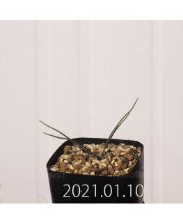 アンドロキンビウム キルキナツム キルキナツム亜種 実生 12215