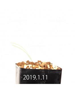 アンドロキンビウム キルキナツム キルキナツム亜種 実生 12216