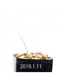 アンドロキンビウム キルキナツム キルキナツム亜種 実生 12217