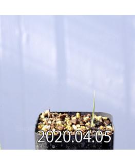アンドロキンビウム ロンギペス EQ700 実生 12220