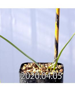 アンドロキンビウム ロンギペス EQ700 実生 12223