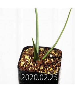 アンドロキンビウム ロンギペス EQ700 実生 12228