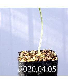 アンドロキンビウム ロンギペス EQ700 実生 12229