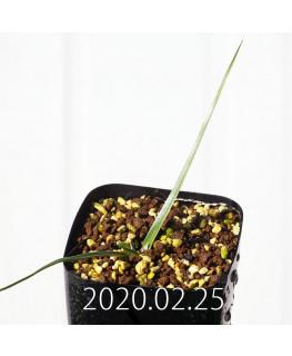 アンドロキンビウム ロンギペス EQ700 実生 12232