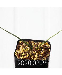 アンドロキンビウム ロンギペス EQ700 実生 12235