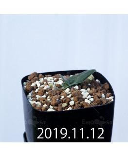 マッソニア ジャスミニフローラ IB11536/JIL085 実生 12288