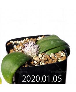 マッソニア ジャスミニフローラ IB11536/JIL085 実生 12293
