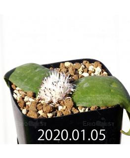 マッソニア ジャスミニフローラ IB11536/JIL085 実生 12294