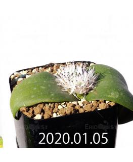 マッソニア ジャスミニフローラ IB11536/JIL085 実生 12302