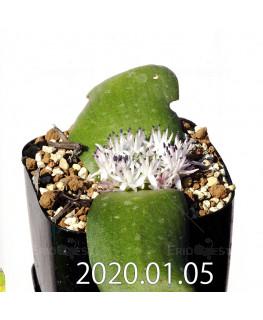 マッソニア ジャスミニフローラ IB11536/JIL085 実生 12304