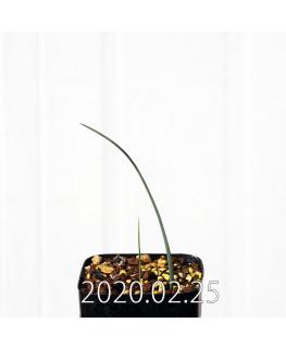 オーニソグロッサム ヴィリデ EQ439 実生 12328