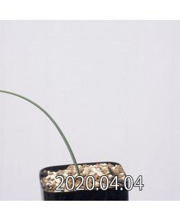 オーニソグロッサム ヴィリデ EQ439 実生 12329