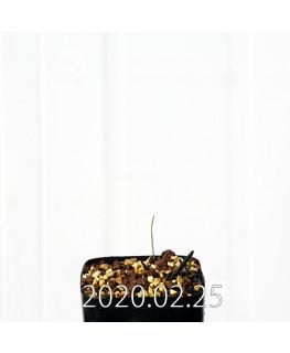 オーニソグロッサム ヴィリデ EQ439 実生 12334