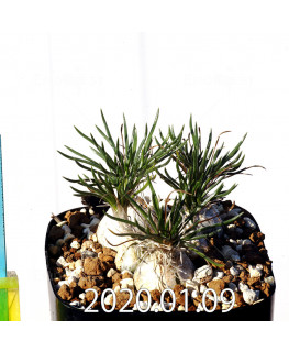 オーニソガラム sp. EQ615 子株 12497