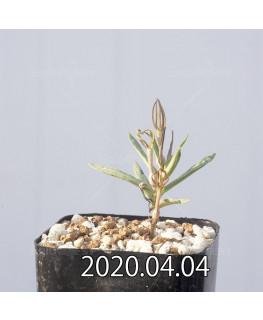 セロペギア コンラティ ES12990 実生 12647