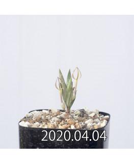 セロペギア コンラティ ES12990 実生 12657