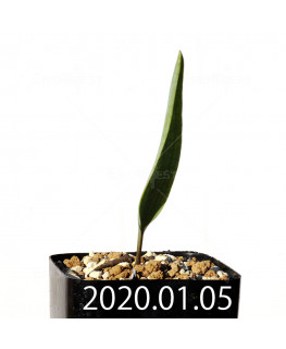 エリオスペルマム ランケイフォリウム EQ722 実生 12725