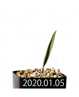 エリオスペルマム ランケイフォリウム EQ722 実生 12726