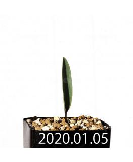エリオスペルマム ランケイフォリウム EQ722 実生 12728
