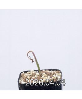 ラケナリア ヒルタ EQ728 実生 12906