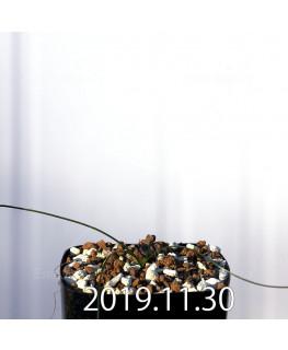 ストルマリア スピラリス EQ730 実生 12950