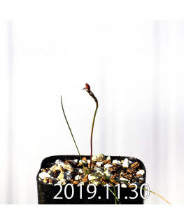 ストルマリア スピラリス EQ730 実生 12961