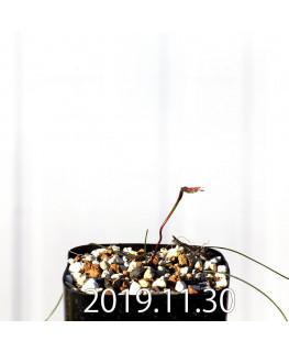 ストルマリア スピラリス EQ730 実生 12964