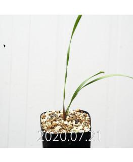 Cyrtanthus smithiae キルタンサス スミシアエ EQ731  13021