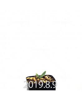 エリオスペルマム ポルフィロウァルウェ EQ732 実生 13047