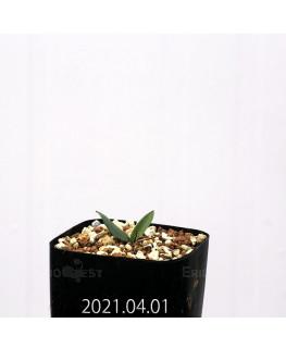 Eriospermum porphyrovalve エリオスペルマム ポルフィロウァルウェ EQ732  13049
