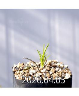 Ipomoea sp. イポメア 不明種 新種  13052