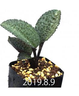 ドリミオプシス ブルケイ EQ737 子株 13271