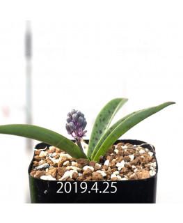 レデボウリア sp. aff. saundersonii 実生 13338