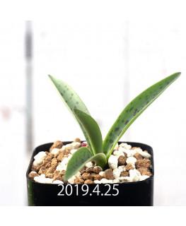 レデボウリア sp. aff. saundersonii 実生 13340