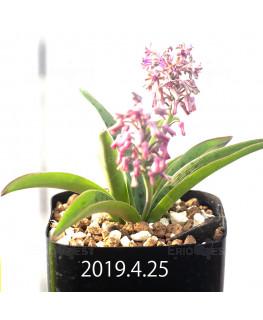 レデボウリア sp. aff. saundersonii 実生 13353