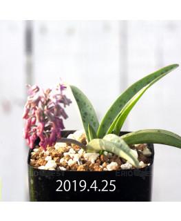 レデボウリア sp. aff. saundersonii 実生 13356