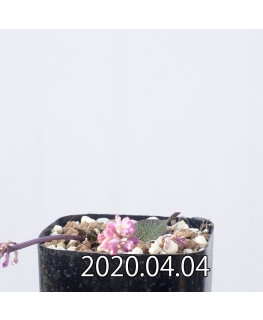 Ledebouria galpinii レデボウリア ガルピニー EQ739  13394