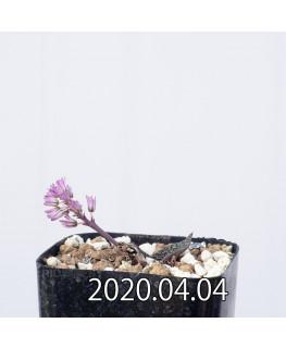 Ledebouria galpinii レデボウリア ガルピニー EQ739  13401