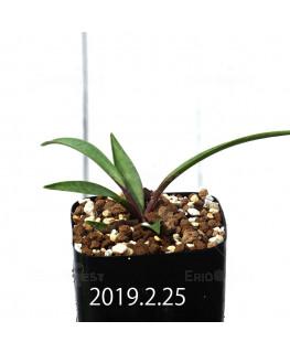 レデボウリア コリアセア DMC9654 子株 13426