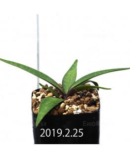 レデボウリア コリアセア DMC9654 子株 13434