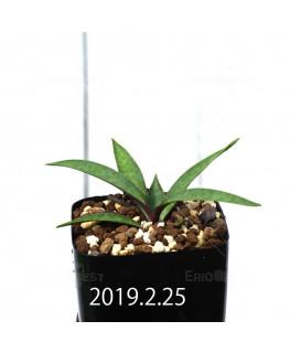レデボウリア コリアセア DMC9654 子株 13435