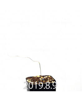 エリオスペルマム ポルフィロウァルウェ EQ732 実生 13465