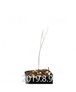エリオスペルマム ポルフィロウァルウェ EQ732 実生 13472