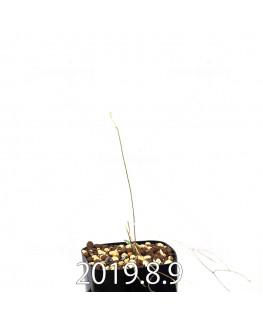 エリオスペルマム ポルフィロウァルウェ EQ732 実生 13473
