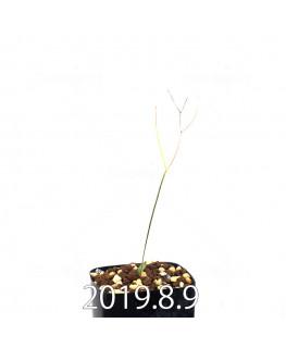エリオスペルマム ポルフィロウァルウェ EQ732 実生 13475