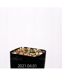 Eriospermum porphyrovalve エリオスペルマム ポルフィロウァルウェ EQ732  13487
